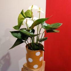 Anthurium blanc avec cache pot