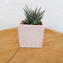 Petite plante grasse - plante zèbre