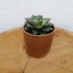 Plante grasse - haworthia